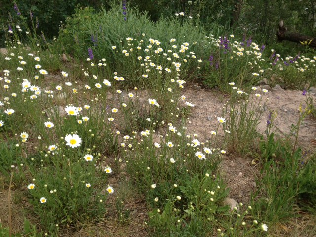 Colorado's first daisy siting, on Vail Mountain!