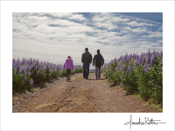Walking through lupines, Iceland
