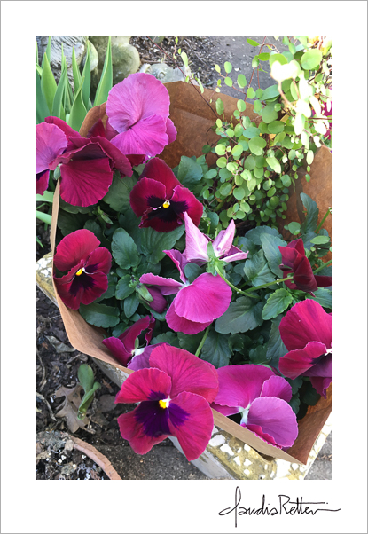 Bright magenta pansies