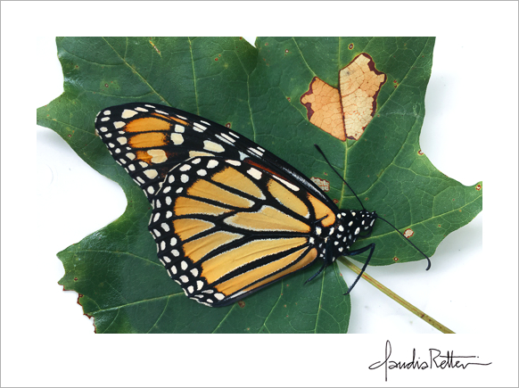 Monarch with heart