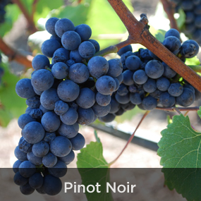 PinotNoir.jpg