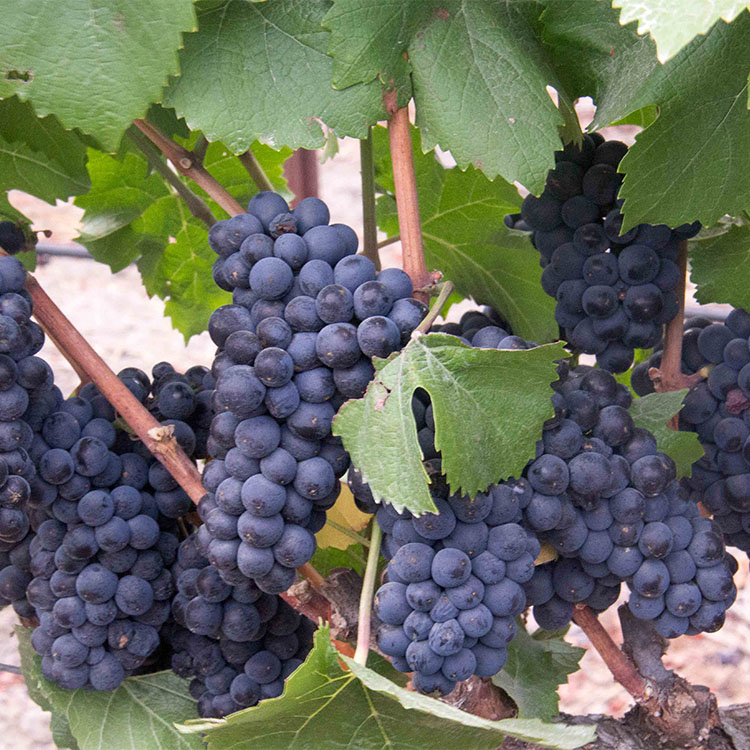 2013-08-29 Fedrick Harvest Pinot Noir