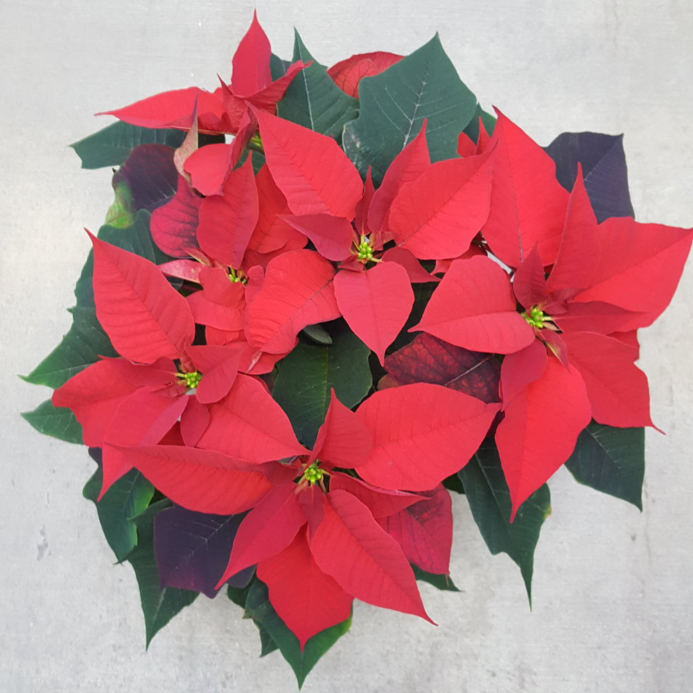 "6"" - Christmas Day Red Poinsettia"