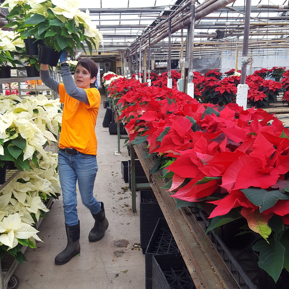 Grower Dawn hand selecting poinsettias for a wholesale order.