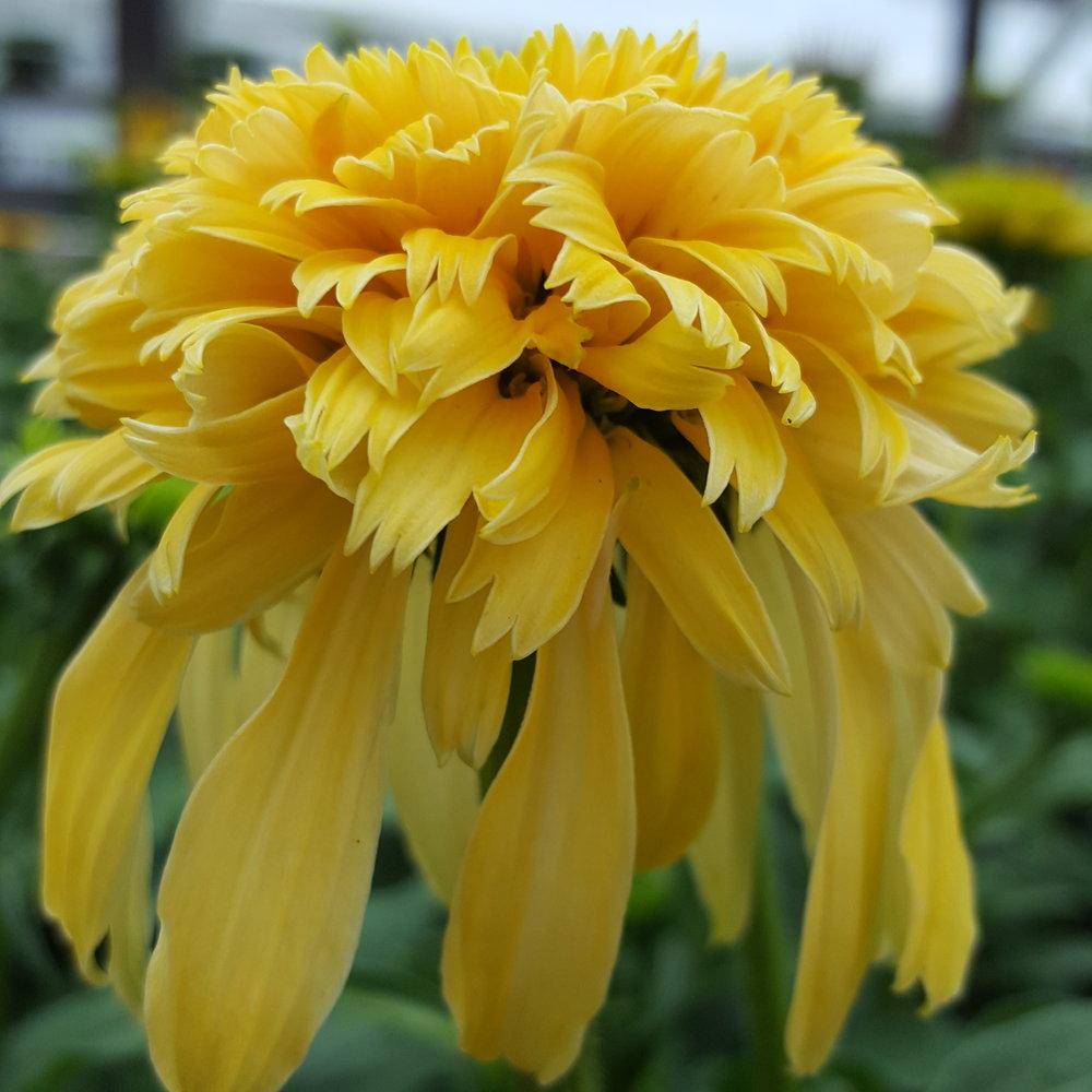 Echinacea 'Lemon Drop'