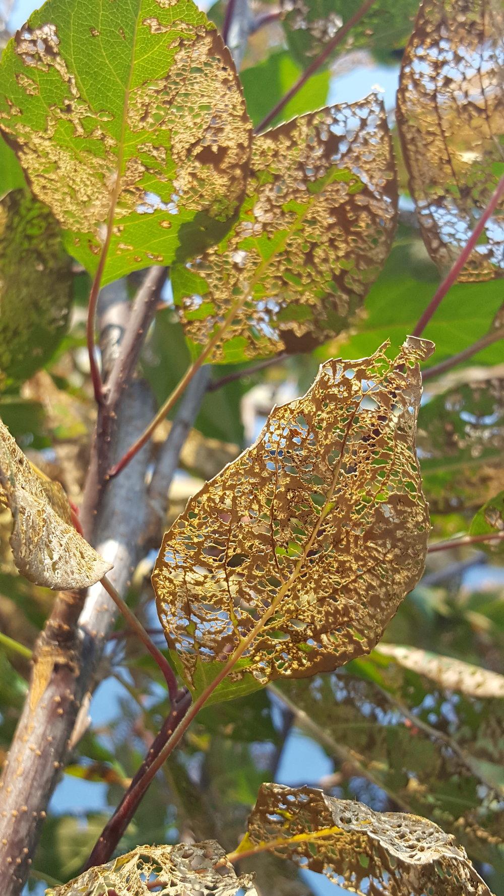 Japanese Beetle Damage on a Crab Apple Tree