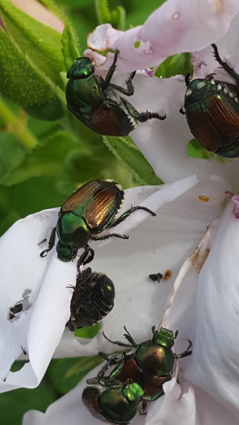 Japanese Beetles Feasting on Rose Flower