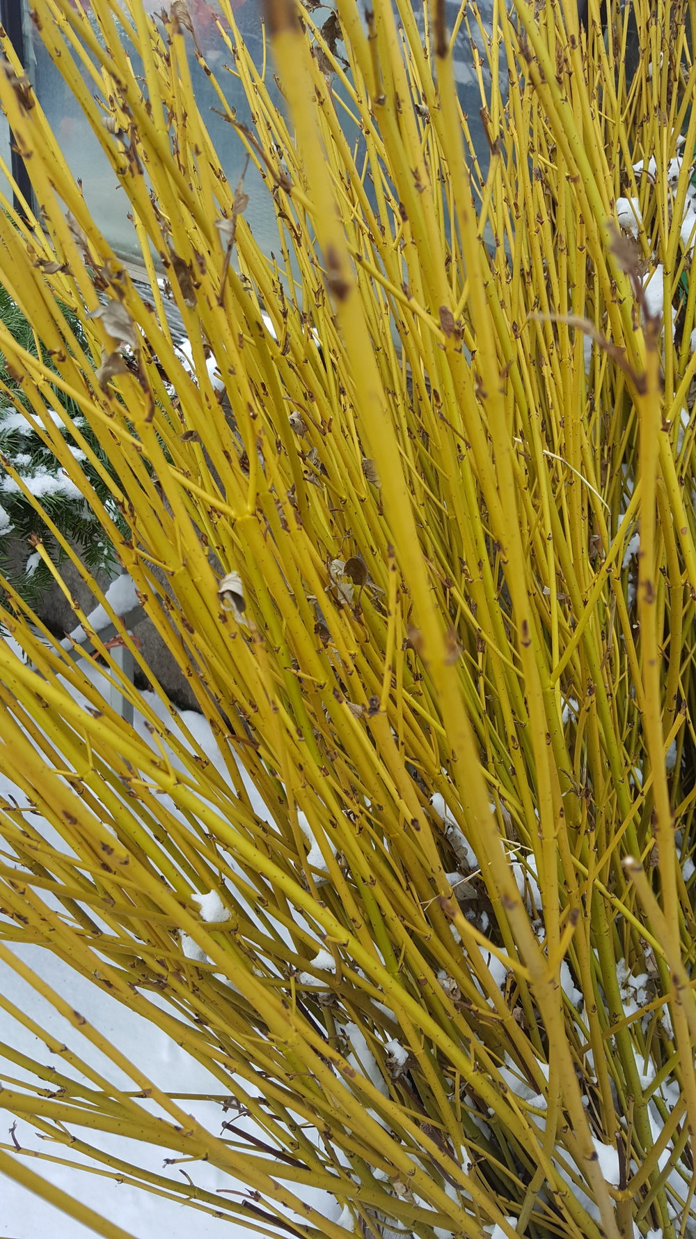 Yellow Twig Dogwood