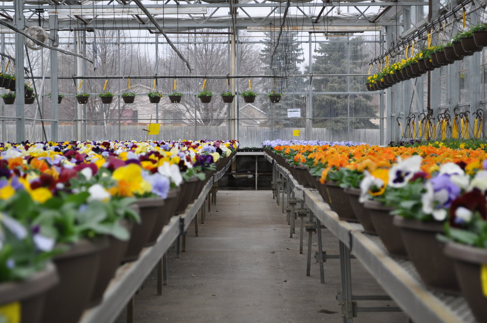 Pansy Selection