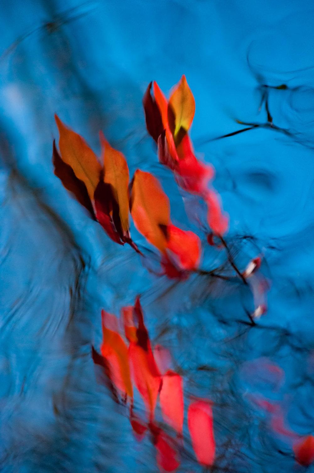 Firebush Blue