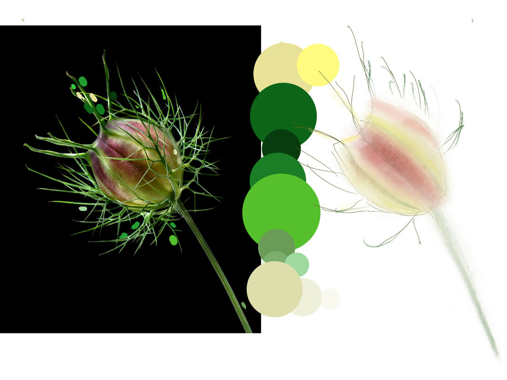 _Nigella Color Study.jpg