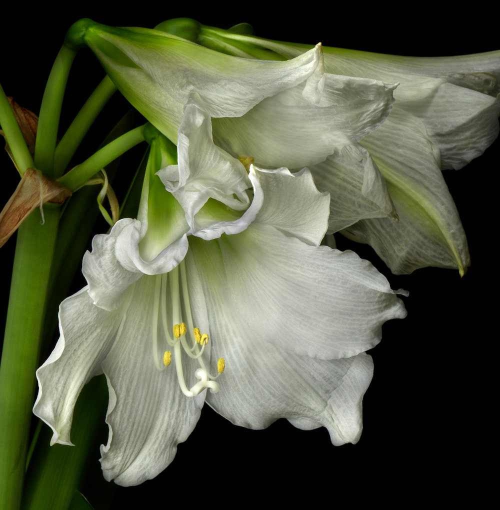 Amaryllis 7 Triple Blosson