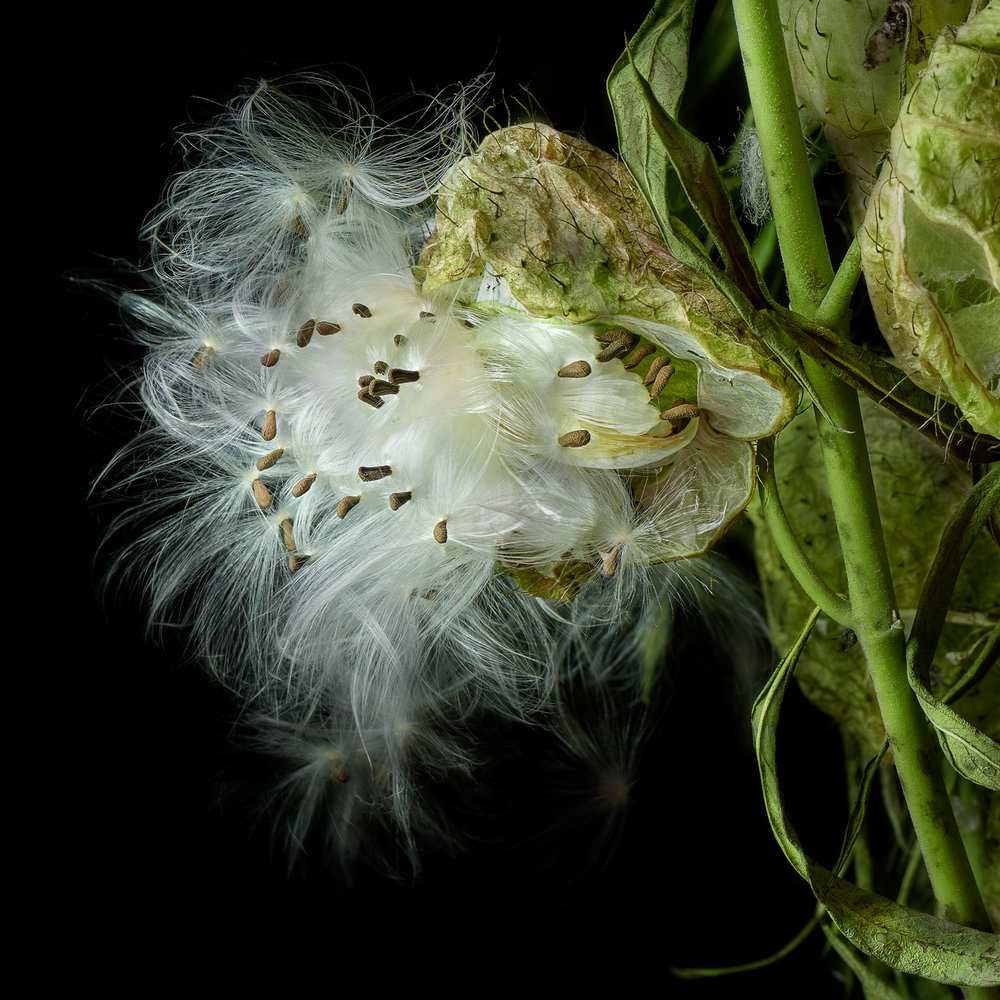 Milkweed 1