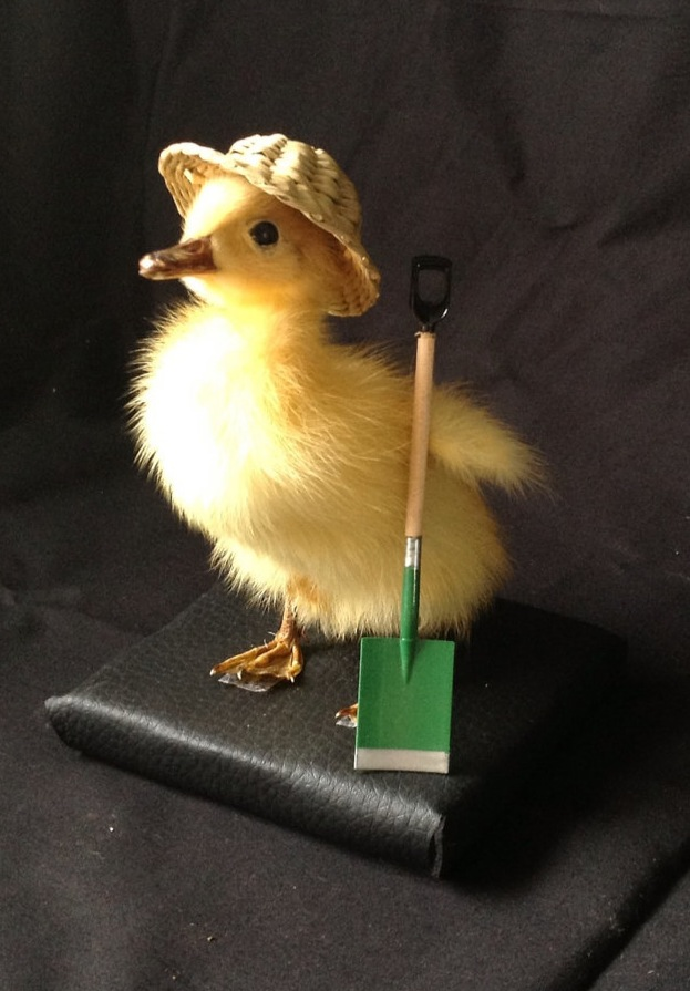 Busy Little Taxidermy Ducklings