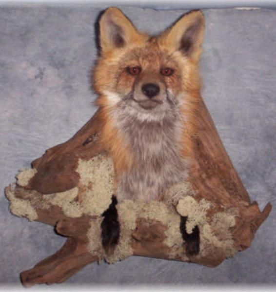 Hellraiser Fox Creepy Taxidermy Saturday The World Of Kitsch