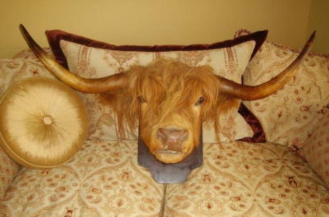 Hipster Highland Cattle Liked Taxidermy BEFORE It was Cool