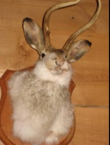 The Mythical Jackalope- the antlered rabbit