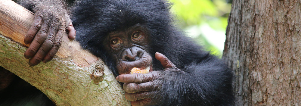 8_BonoboImage.jpg