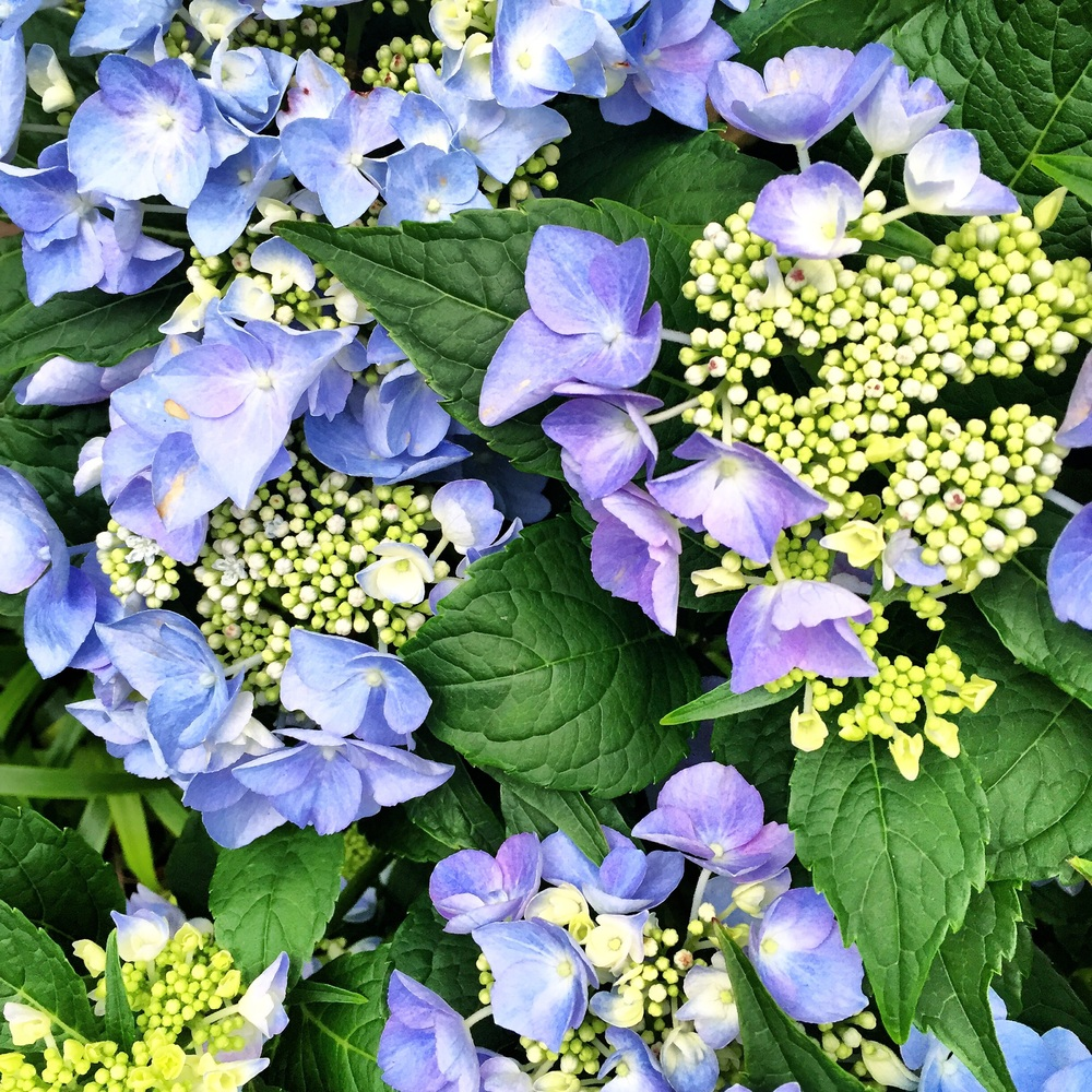 HYDRANGEAS AT MADISON SQUARE PARK