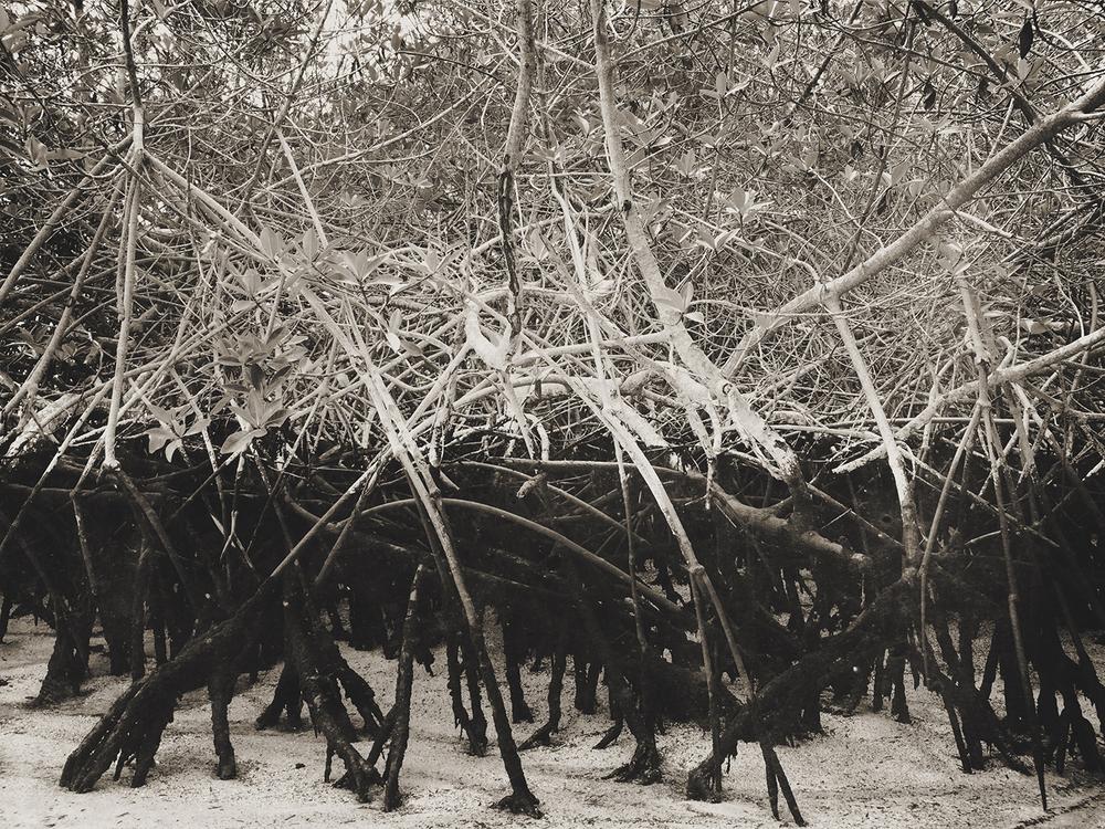 Mangrove | Isabela Island, Galápagos