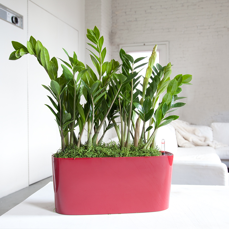This ZZ plant is sold along with a self watering pot at mycitiyplants