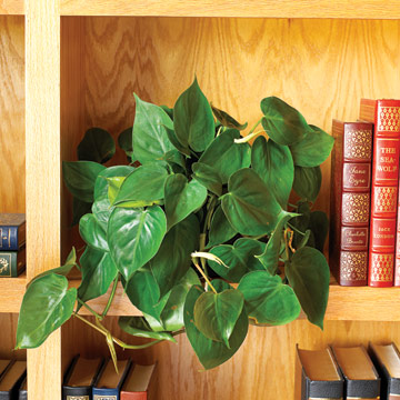 Trailing Philodendron from Better Home and Gardens magazine