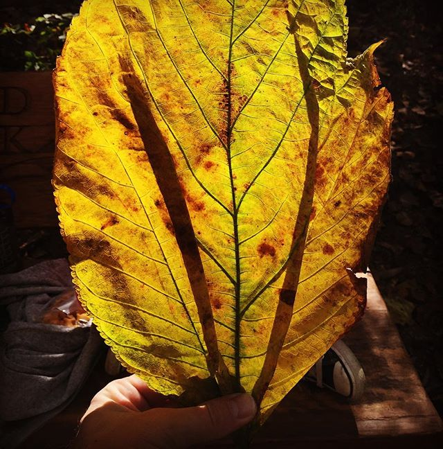 Leaves so big and bright they bring you out of IG retirement.