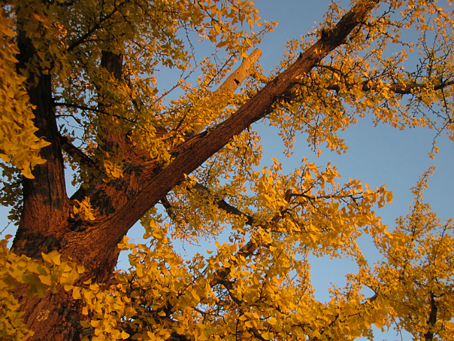 Ginko in Autumn