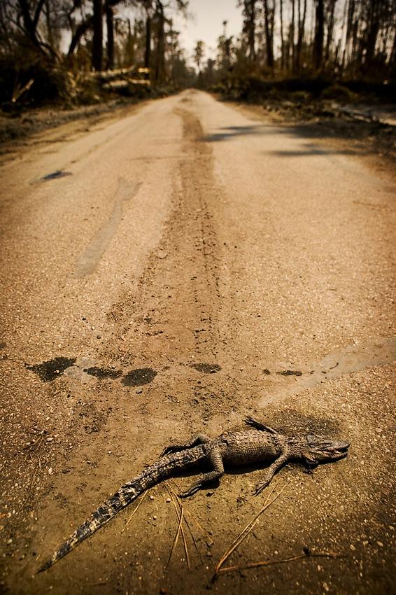 Dead baby alligator, Slidell, Louisiana