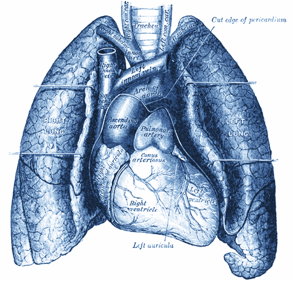Gray's Anatomy: Heart and Lungs. 1918. Public domain via Wikimedia Commons.