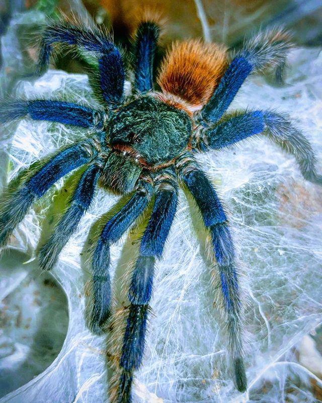 #spiderbro #greenbottleblue #tarantula #spider