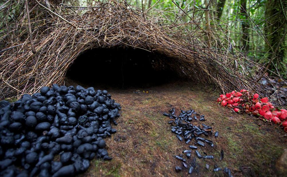Vogelkop bowerbird house