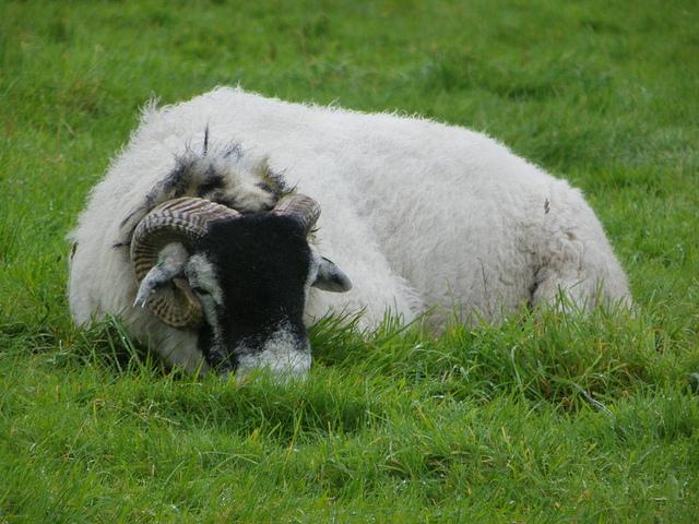 Sleeping ram.jpg