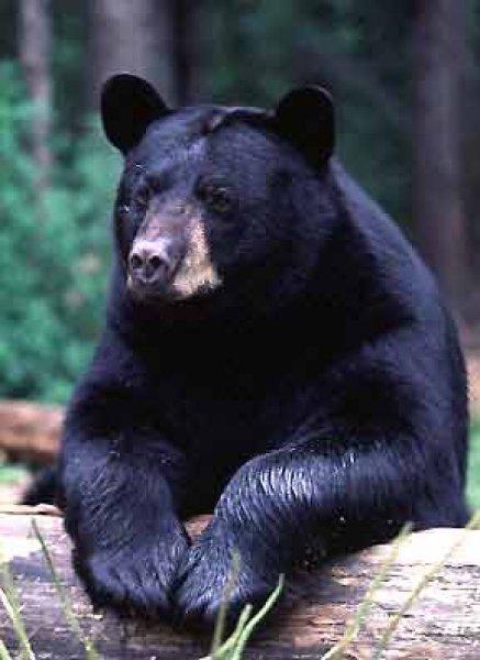 bear_am.jpg