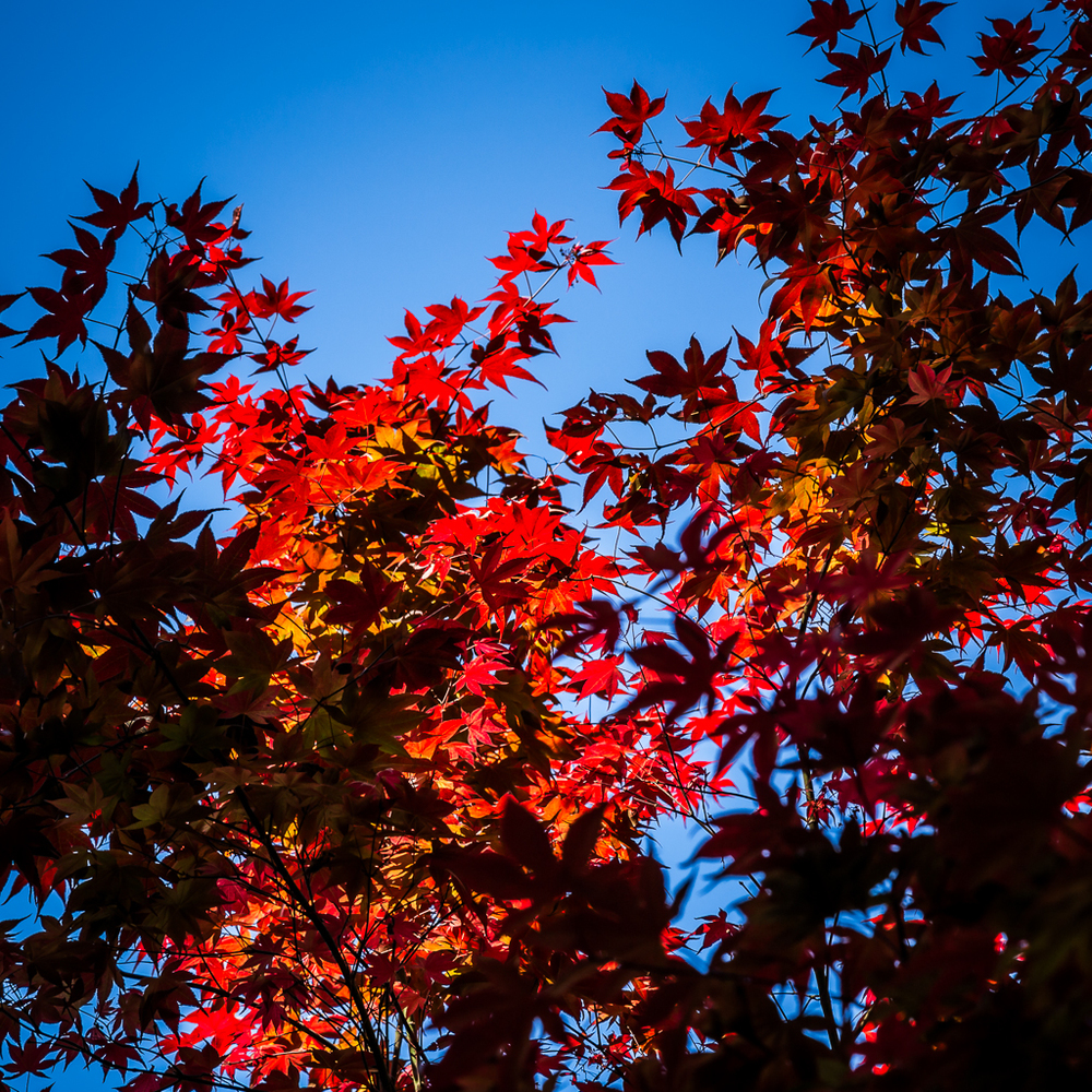 Japanese Maple at the Descanso Gardens.
