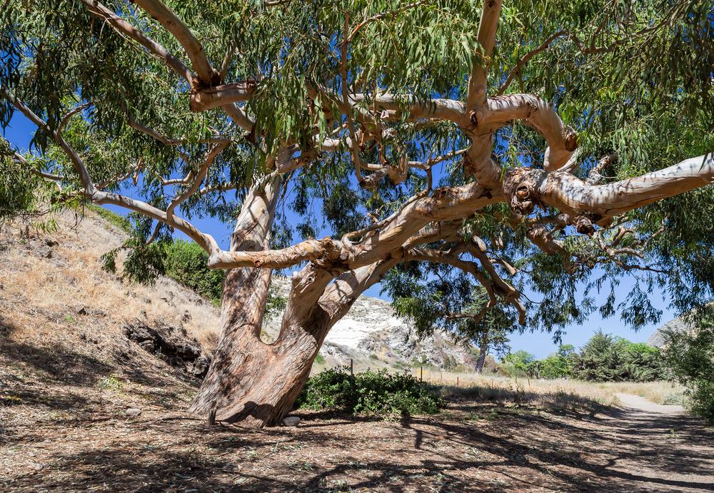 Large Eucalyptus, Santa Cruz Island