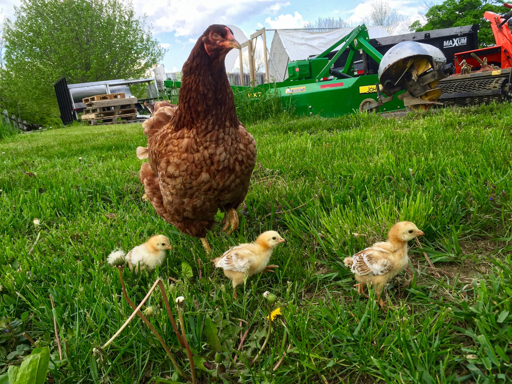 Buckeye mom with her chicks