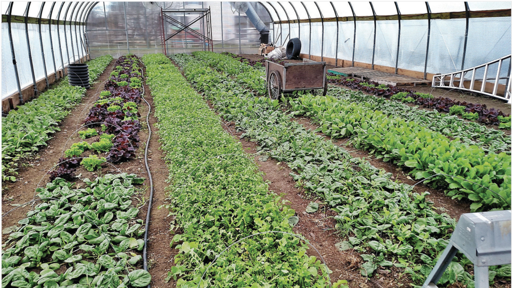 Rows of vegetables grow in a greenhouse powered by solar energy at Red Shirt Farm in Lanesborough.  Photo by Dick Lindsay - The Berkshire Eagle