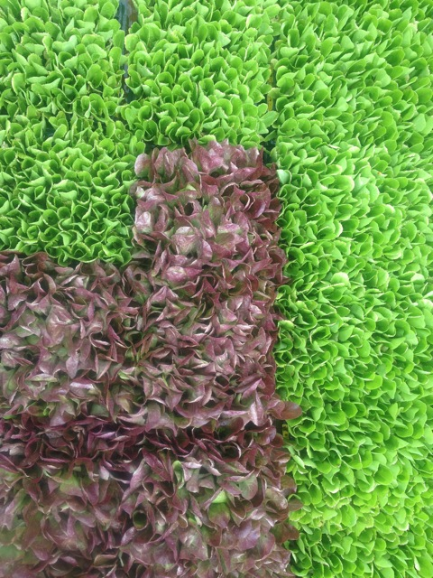 lettuce transplants.jpg
