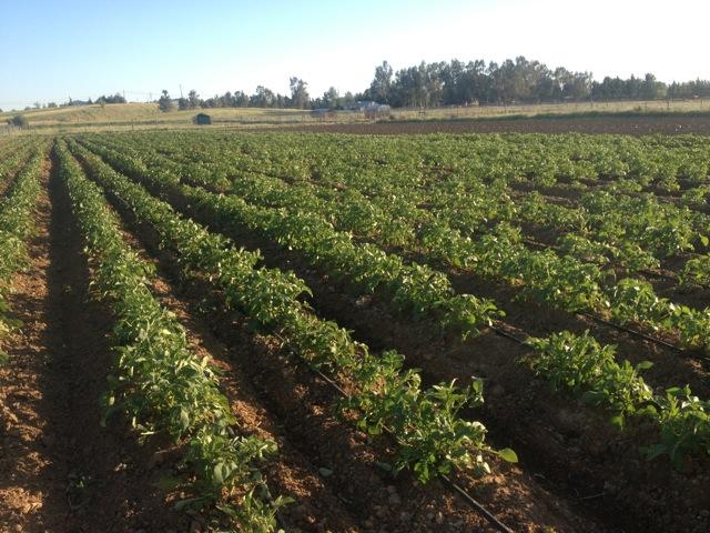 potatoes spring.jpg