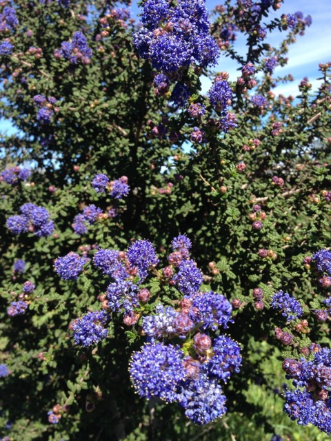Blooming Ceanothus in our hedgerows.