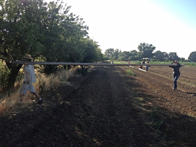 Moving irrigation pipe into the almonds.