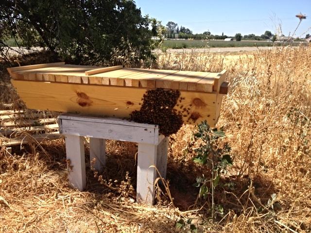 Bearding Bees.