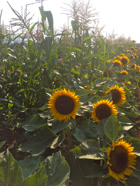 Corn & Flowers