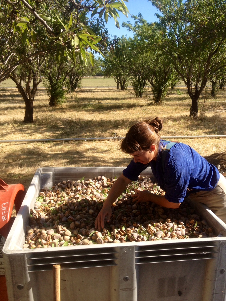 May sorting almonds.