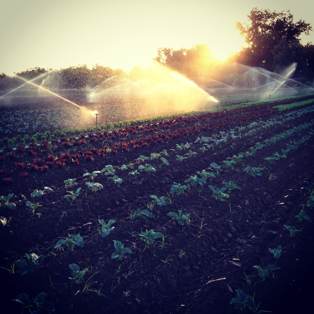 Precious water irrigating and cooling brassicas and lettuces in the morning sun.
