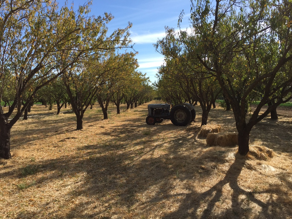 Dry orchard - we're still in a drought!  And in need of rain.