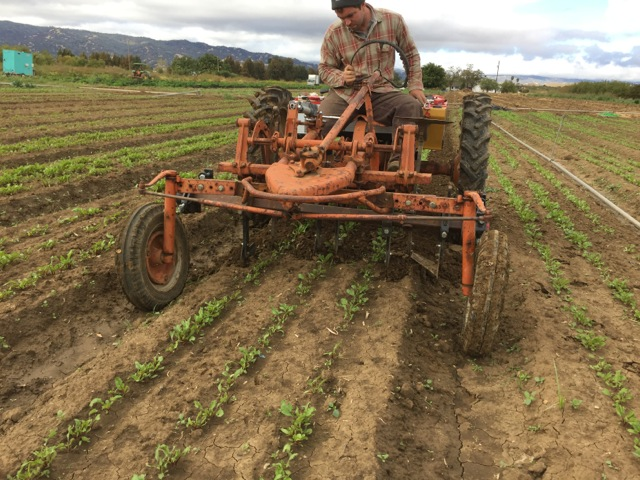 Cultivating overwintering beets with bed knives on our electric tractor.