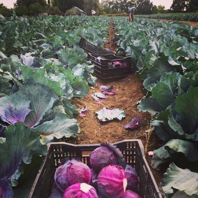 Cabbage harvest.