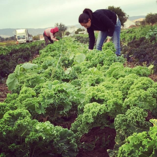 Viri & Dusty harvest kale.